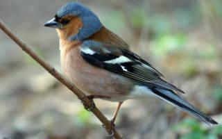Особенности зяблика обыкновенного — как выглядит, где обитает, как питается птица