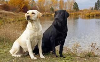 Как характеризуются Лабрадоры: описание породы и содержания собак в квартире, плюсы-минусы, отзывы владельцев