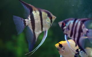 Виды скалярий, особенности ухода, содержания в аквариуме и размножения