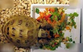 Как правильно содержать и ухаживать за сухопутной черепахой в домашних условиях