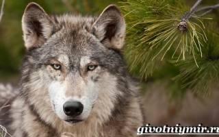 Особенности лесного волка: общая характеристика, место обитания, цвет волка