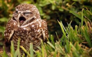 К чему увидеть живую сову у дома или во сне