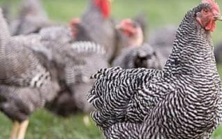 Описание породы кур плимутрок полосатый: содержание и уход, болезни, фото куриц