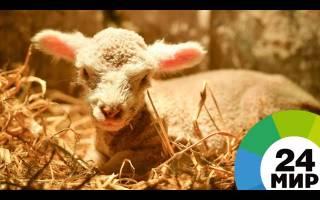 Удивительная Судьба: в Азербайджане родился ягнёнок с шестью ногами