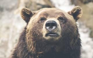 Новый Жрун объявился на Камчатке: медведь до сих пор не впал в спячку