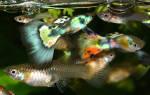 Аквариумные рыбки гупики: описание внешнего вида, содержание и уход, особенности размножения с видео