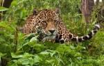 Как характеризуется кошка ягуар: где предпочитает жить животное, чем питается чёрная пантера, как охотится