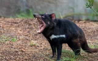Тасманский дьявол — как выглядит, чем питается, как кричит, почему его так назвали и другие интересные факты