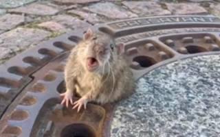 Крыса отъелась за зиму и застряла в крышке люка