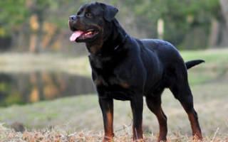 Собака породы ротвейлер: описание и характеристика собаки, особенности содержания, выбор щенка и фото