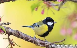 Птицы синицы: как они выглядят, как живут зимой и не только