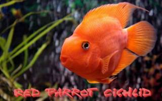 Аквариумная рыба-попугай: особенности вида, уход и фото особей