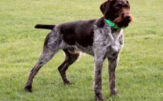 Как содержать дратхаара: описание породы, правила ухода, фото собак