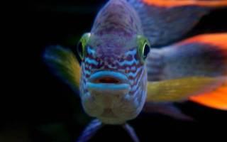 Акары бирюзовые: их совместимость с другими рыбами, правила содержания и размножения