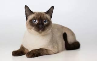 Тайские коты и кошки: фото, характеристика и описание породы, особенности ухода и стоимость