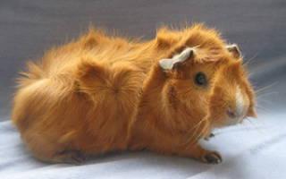 Породы морских свинок: названия видов морских свинок, фотографии пород морских свинок
