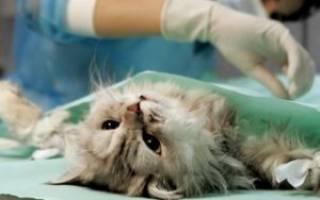 Нужно или нет кастрировать домашнего кота: советы ветеринара и что надо знать об этой операции