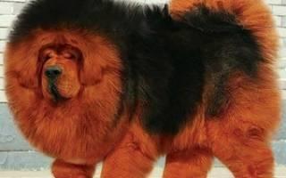 Тибетский мастиф — самая большая собака в мире, весящая до 112 кг, история породы и фото