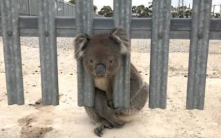 В Австралии спасли невезучую коалу