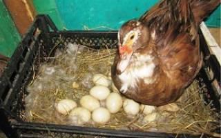 Разведение индоуток: время, когда индоутка начинает нести яйца и уход за птицей в домашних условиях