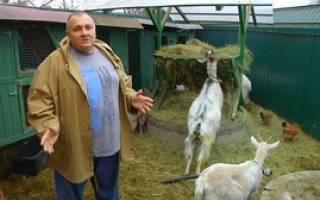Как выращивать коз в домашних условиях: содержание и разведение животных, уход, видео и полезные советы