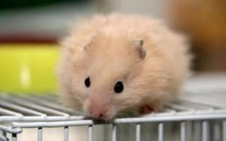 Хомяки в домашних условиях: основные правила ухода содержания грызунов, их особенности