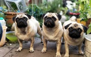 Породы собак для начинающих: топ-5