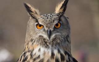 Список птиц, являющихся дневными и ночными хищниками, их особенности и признаки представителей хищных отрядов