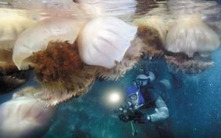 Гидроид медуза: жизнедеятельность и среда обитания, питание и размножение