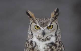 Чем может отличаться сова от филина: особенности отличия самцов от самок