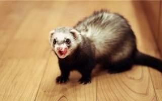 Внешний вид животного фретки и содержание хорька в домашних условиях