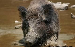 Что собой представляет вепрь: описание кабана, чем питается животное и сколько весит, среда обитания