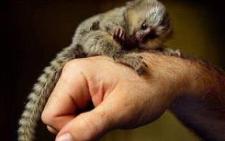 Мармозетка: описание и основные отличительные черты маленькой обезьянки