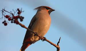 Какие птицы на территории страны имеют хохолок на голове: фото птичек, название