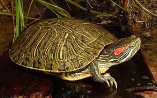 Разведение красноухих черепах: как спариваются черепахи