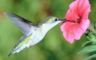 Колибри: описание внешнего вида и сколько она весит, где живёт птичка и чем питается