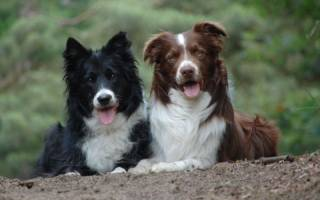 5 пород собак, хорошо поддающихся дрессировке