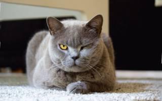 Симптомы лишая у кошек