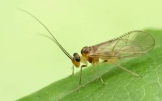 Сеноеды в квартире: фото, как избавиться в домашних условиях, откуда берутся вредители, виды насекомых