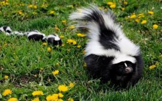 Где могут обитать полосатые скунсы: где живет и чем питается зверек