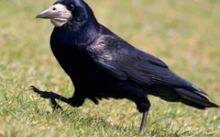 Грач: как выглядит и где зимует, какую пользу и вред приносят птицы