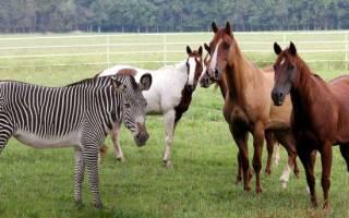 Зеброид — гибрид лошади и зебры, подборка фото