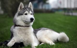 Собака лайка — характеристика вида: какие породы бывают, чем они похожи и в чём отличия