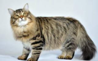 Почему кошку тошнит и рвет желтой или белой жидкостью после еды: причины, почему у кота не переваривается пища