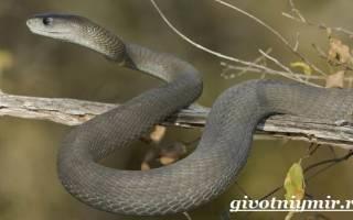 Статья описывает змею черную мамбу: особенности, среду обитания, питание и размножение