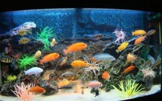 Описание аквариумных рыб цихлид: правила содержания, виды и фото