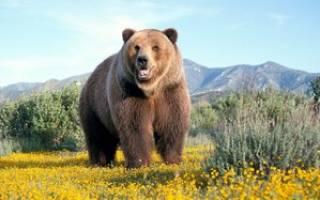 Как выглядят, какой имеют вес и где встречаются жители леса — бурые медведи