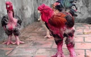 Га Донг Тао: куры с драконьими ногами
