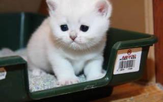 Как правильно и быстро приучить маленького котенка к новому лотку за несколько дней