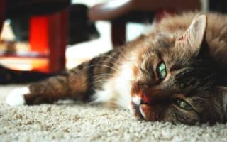 Симптомы гастрита у кошки